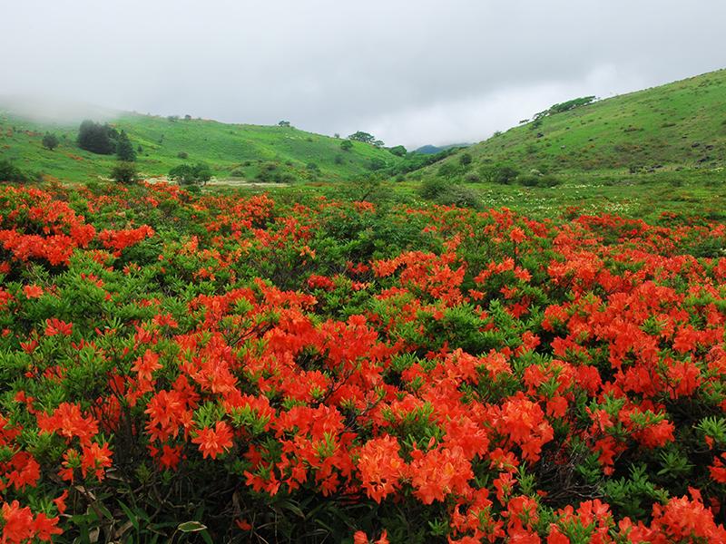 車山湿原。草原の緑の中にレンゲツツジの赤が映える。