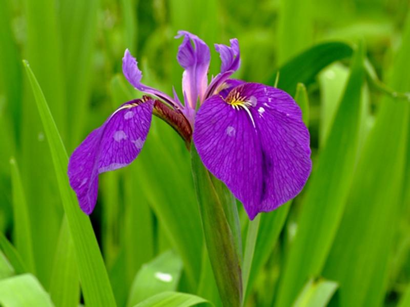 キリガミネヒオウギアヤメ。紫色の花で丸く垂れ下がった花びらの中央に黄色が少し入る。