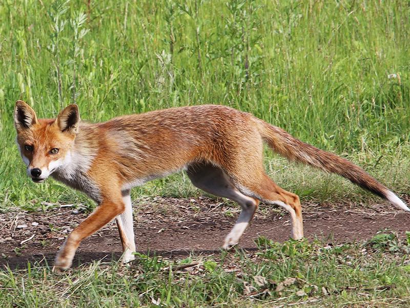 キツネ。茶色い体で足が長く、しっぽは下向きで細長い。