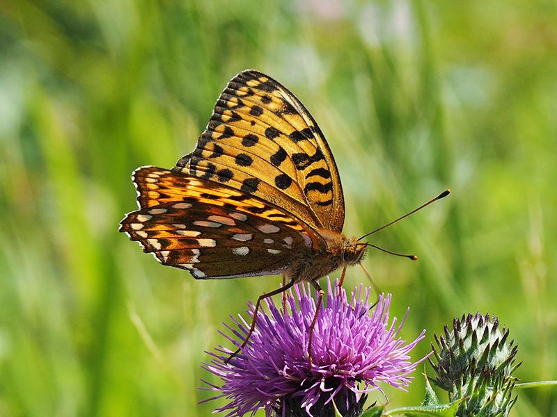 ヒョウモンチョウの仲間。橙色に白と黒の斑紋が入る。紫色のアザミに止まっている。