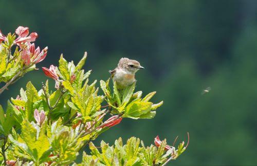 レンゲツツジの木の上に鳥のノビタキの幼鳥が飛んでいる虫を見つめている