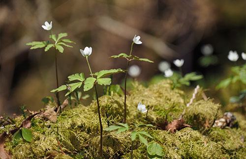 苔の上に細い茎をのばして小さな白い花が咲いている