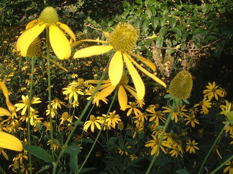 花びらが大きい黄色い花