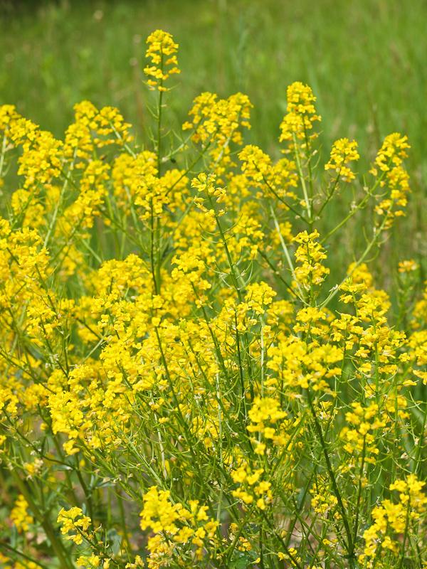 菜の花のような花