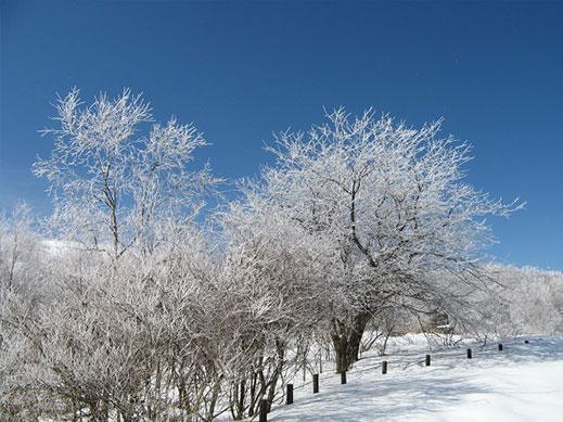 霧氷で木の枝先が白くなり青空に映える