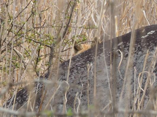岩陰にキツネの耳