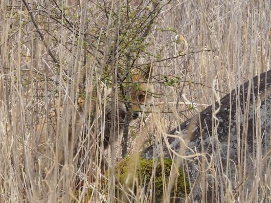 藪の向こうからキツネがのぞく