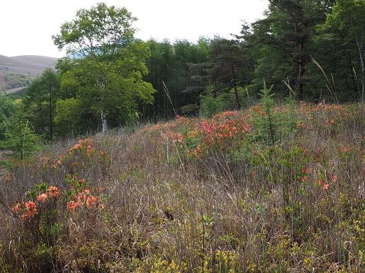 丘の上に咲くレンゲツツジ
