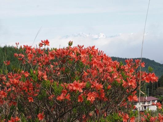 朱色の花がたくさんついたレンゲツツジの木