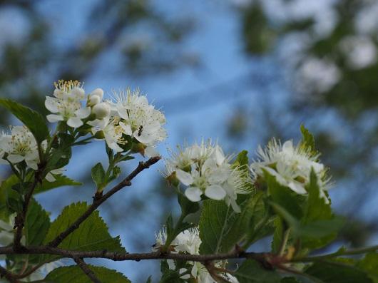 木に咲く白い花