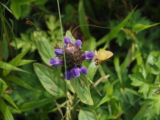 紫色のウツボグサにとまる蝶