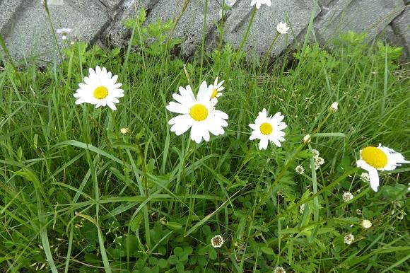 フランスギクの白い花
