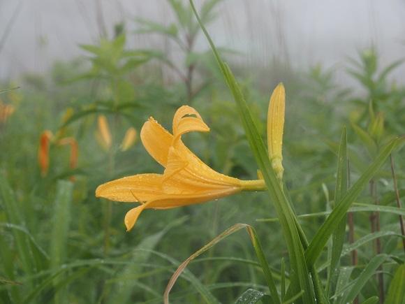 霧の中で咲くニッコウキスゲ