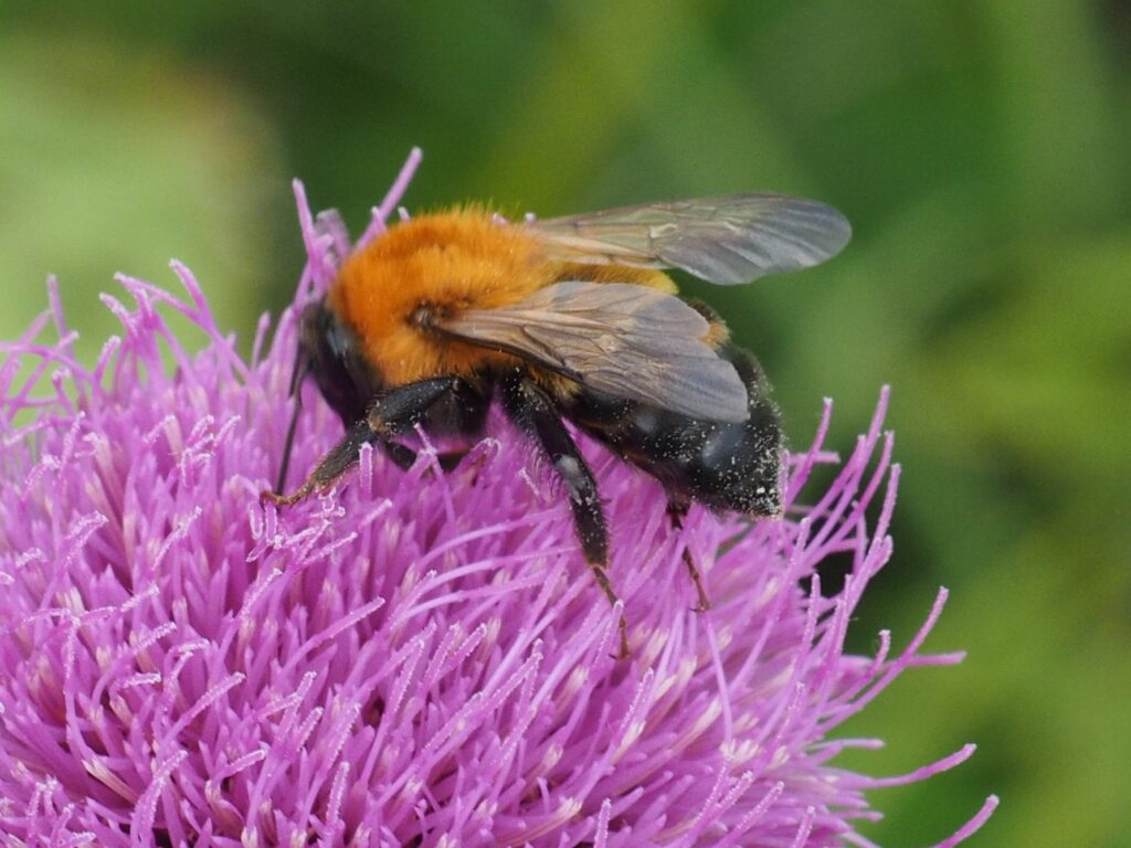 ノアザミにとまるハチ