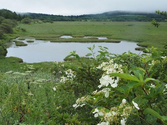 ノリウツギと八島ヶ池