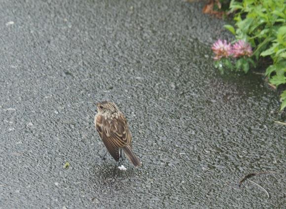 歩道を歩く鳥