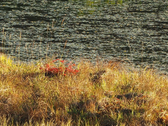 湿原にある赤い植物