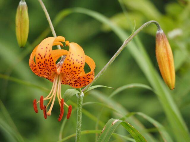 橙色のコオニユリ