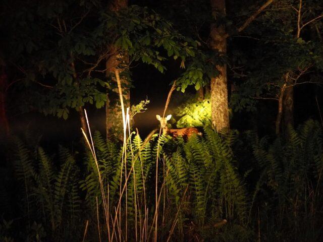 暗闇にいる二ホンジカにライトがあたっている